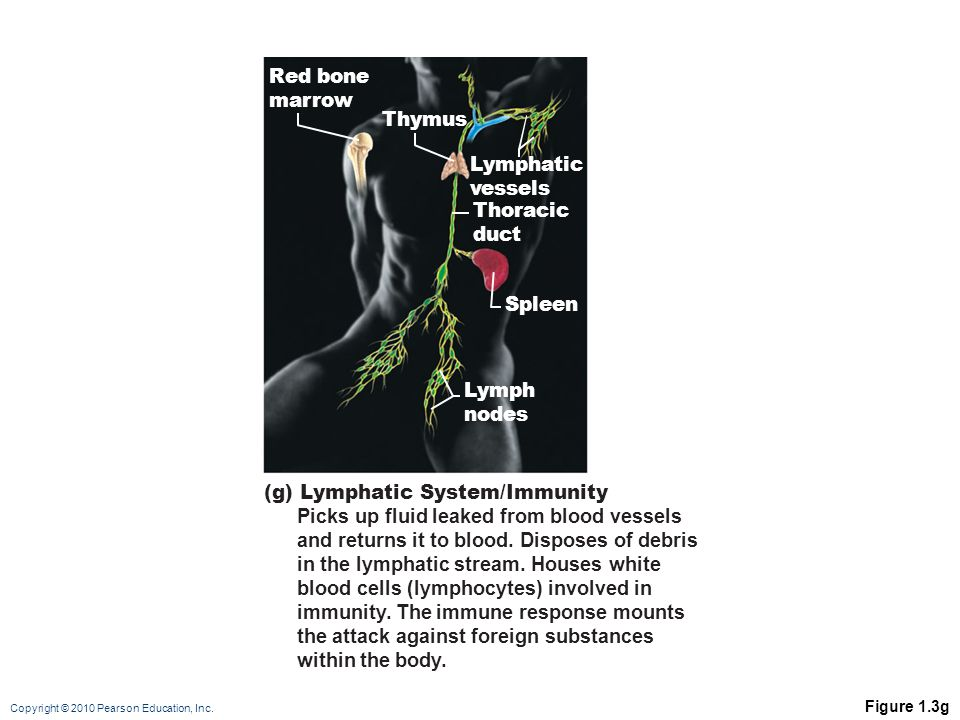 (g) Lymphatic System/Immunity Picks up fluid leaked from blood vessels