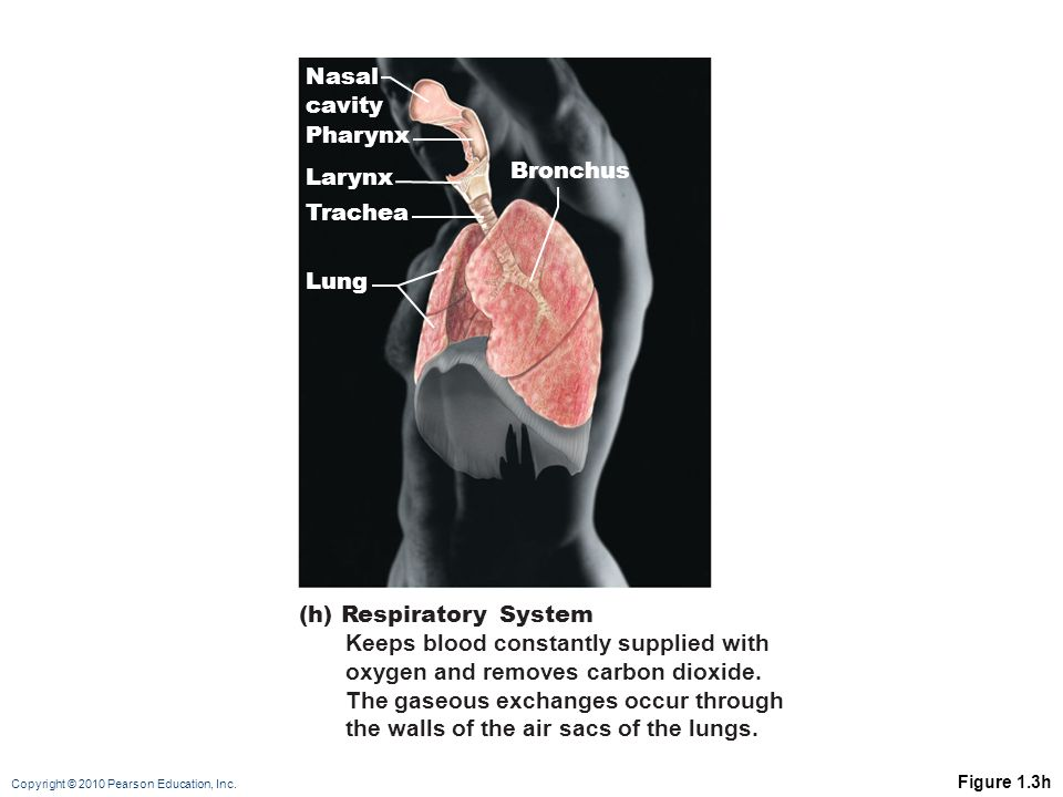 (h) Respiratory System Keeps blood constantly supplied with