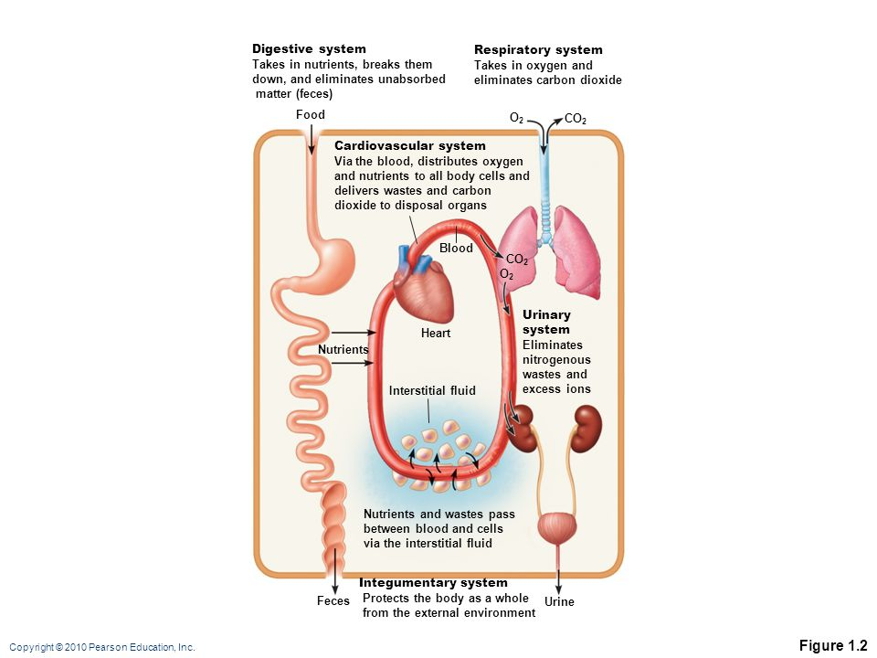 Figure 1.2 Digestive system Takes in nutrients, breaks them