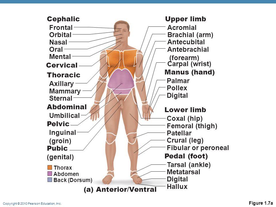 Cephalic Upper limb Frontal Acromial Orbital Brachial (arm) Nasal