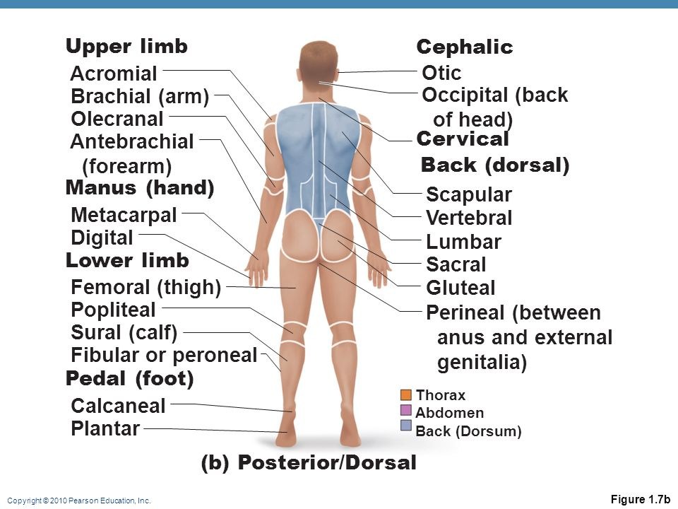 Upper limb Cephalic Acromial Otic Brachial (arm) Occipital (back