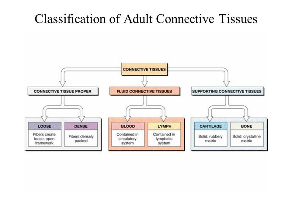 Classification of Adult Connective Tissues