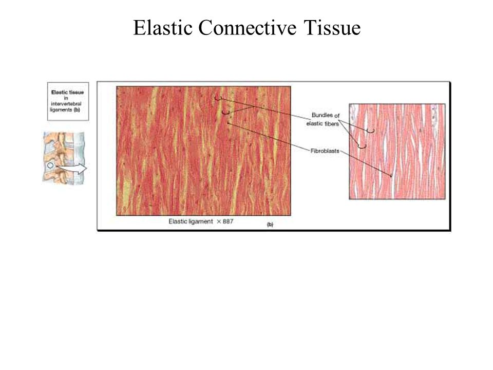 Elastic Connective Tissue