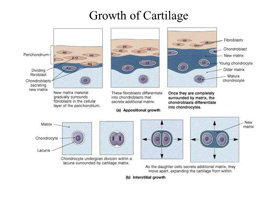 Growth of Cartilage FG03_15.JPG
