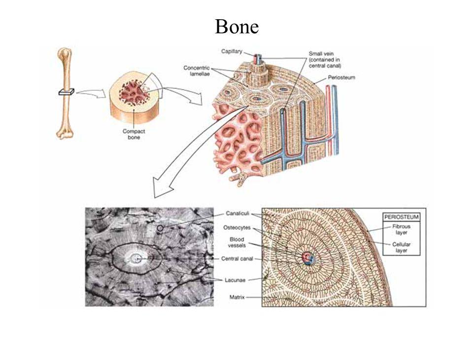 Bone FG03_17.JPG Title: Bone