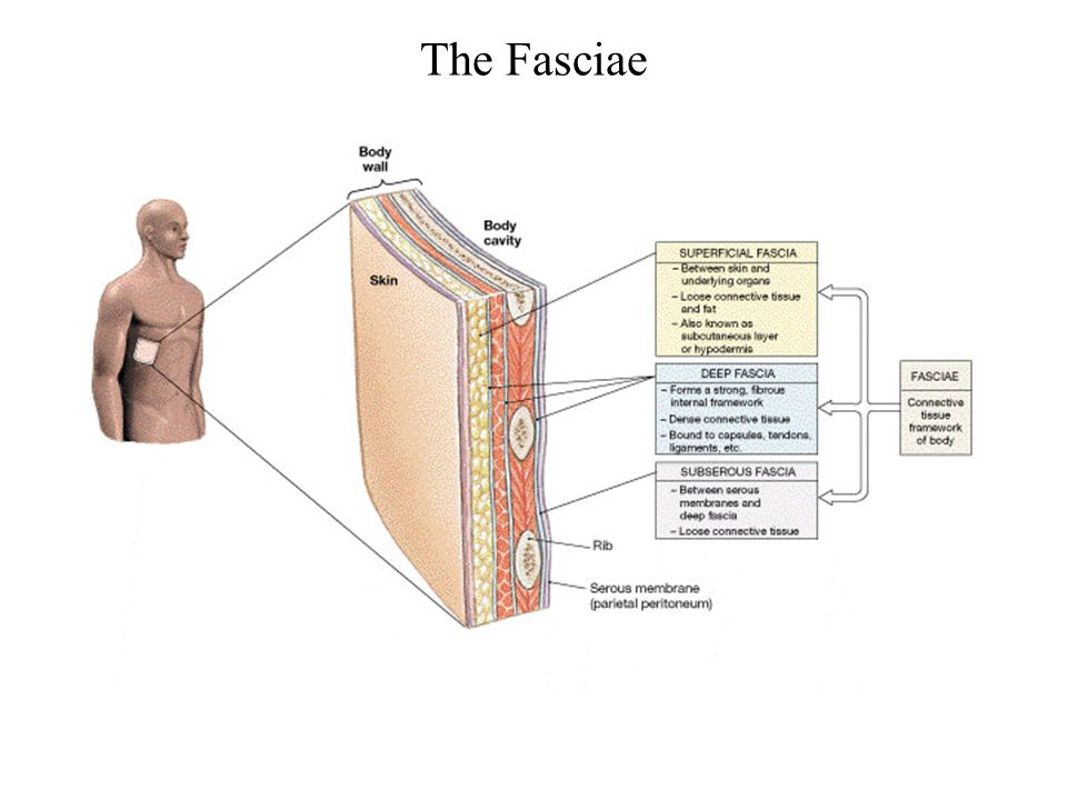 The Fasciae FG03_19.JPG Title: The Fasciae