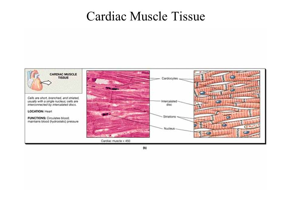 Cardiac Muscle Tissue FG03_20B.JPG Title: Muscle Tissue
