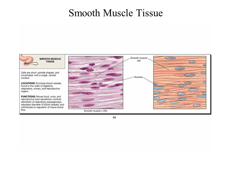 Smooth Muscle Tissue FG03_20C.JPG Title: Muscle Tissue