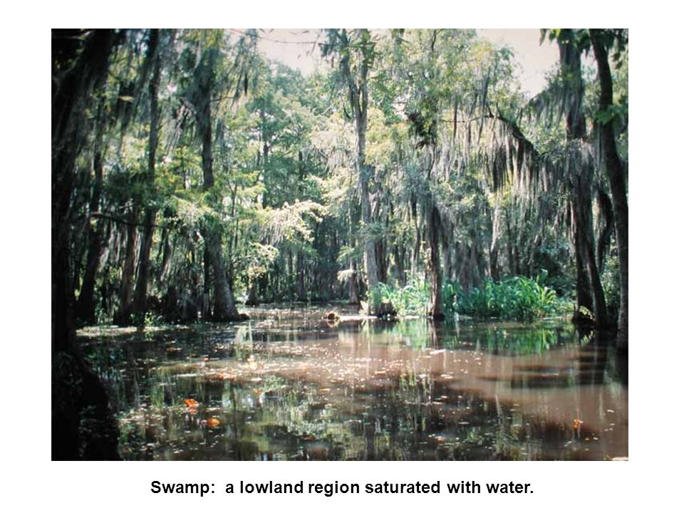 Swamp: a lowland region saturated with water.