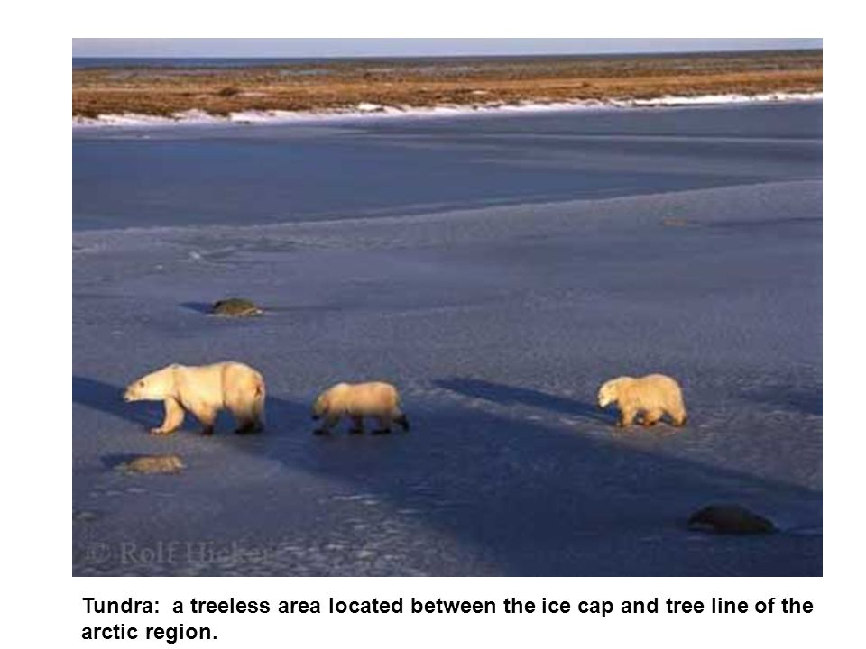 Tundra: a treeless area located between the ice cap and tree line of the arctic region.