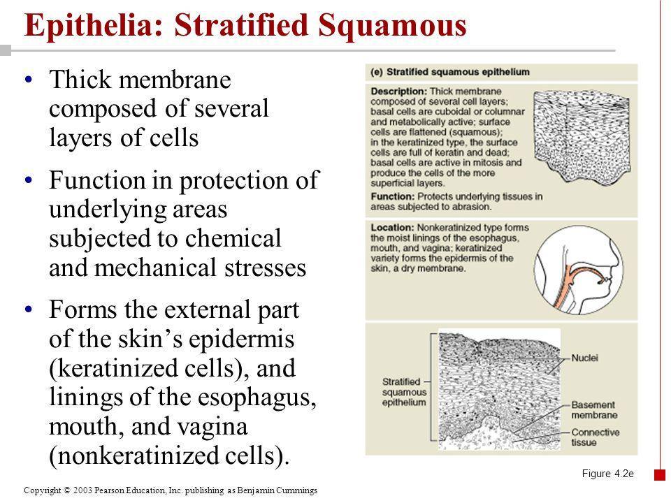 Epithelia: Stratified Squamous