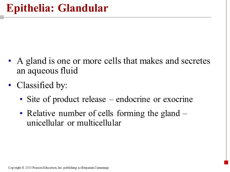 Epithelia: Glandular A gland is one or more cells that makes and secretes an aqueous fluid. Classified by:
