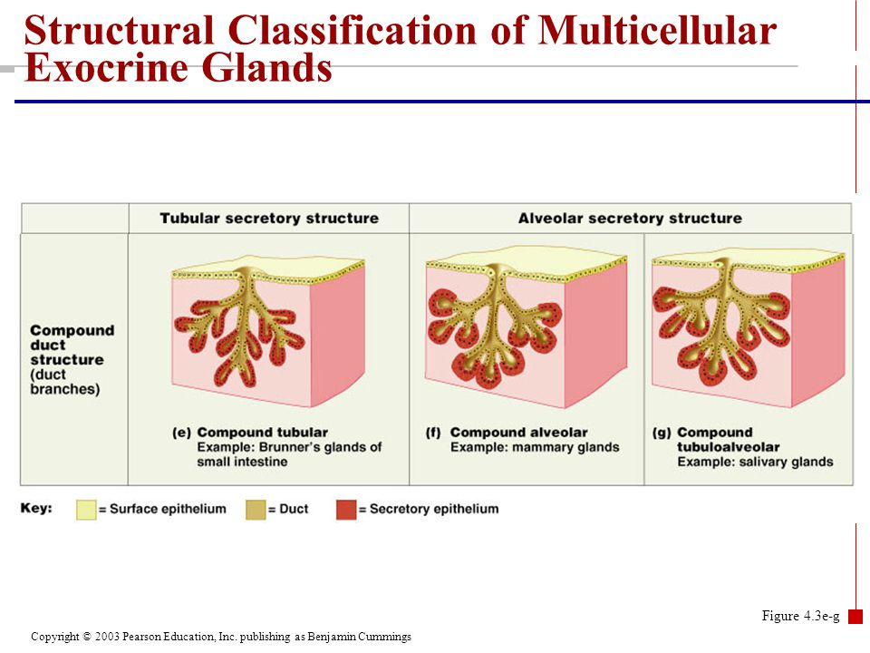Structural Classification of Multicellular Exocrine Glands