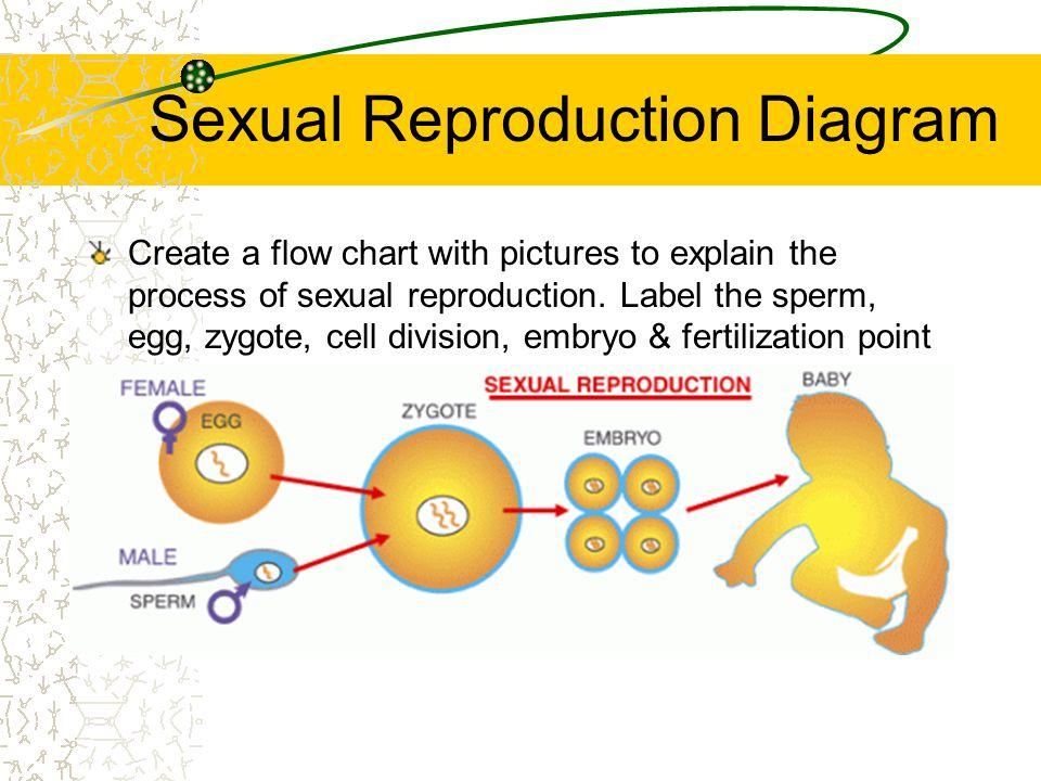 Sexual Reproduction Diagram