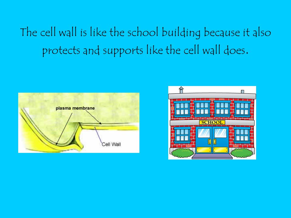 The cell wall is like the school building because it also protects and supports like the cell wall does.
