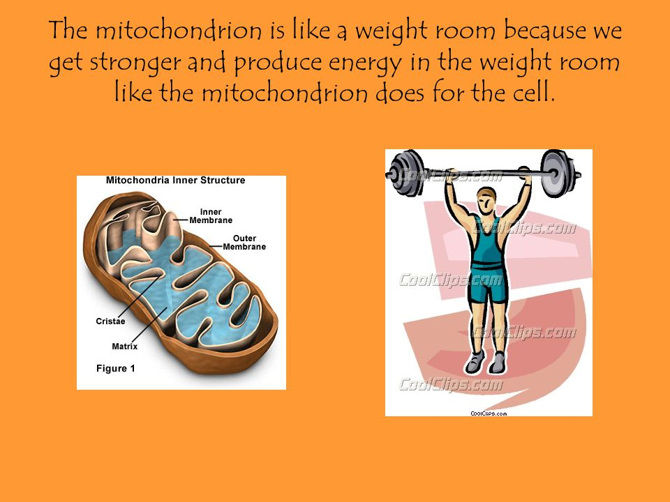 The mitochondrion is like a weight room because we get stronger and produce energy in the weight room like the mitochondrion does for the cell.