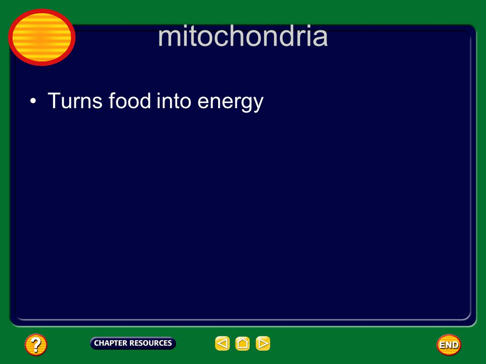 mitochondria Turns food into energy