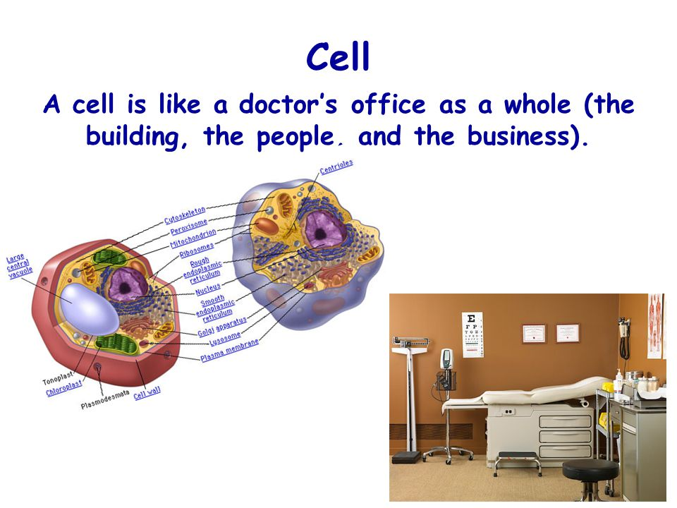 Cell A cell is like a doctor's office as a whole (the building, the people, and the business).