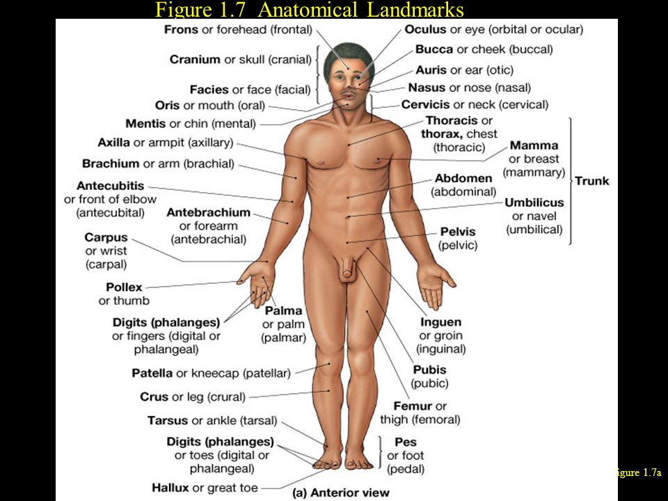 Figure 1.7 Anatomical Landmarks