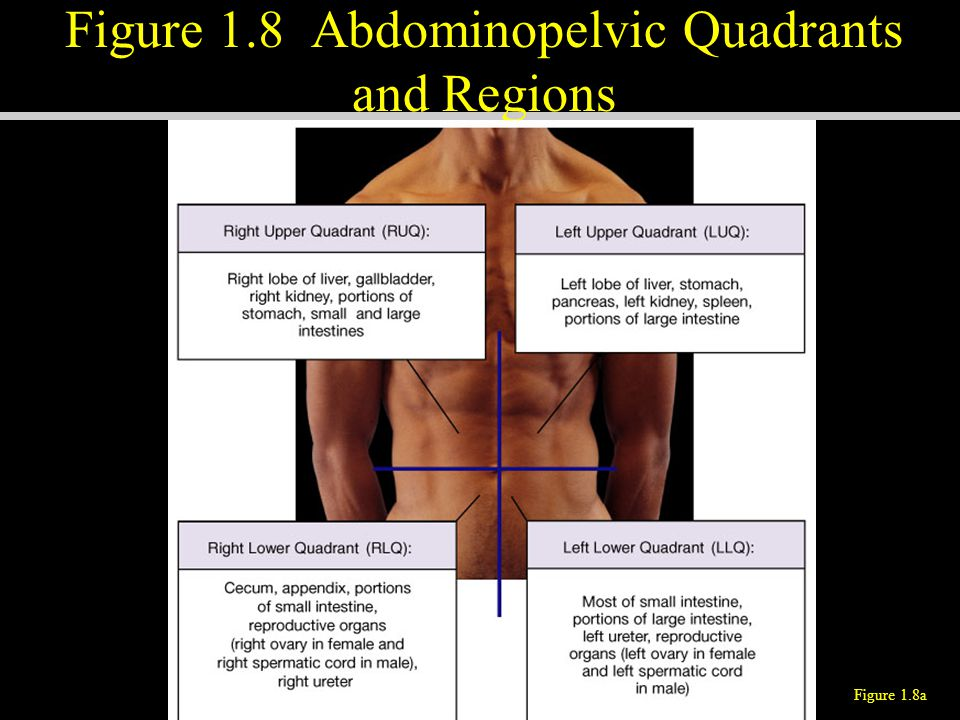Figure 1.8 Abdominopelvic Quadrants and Regions