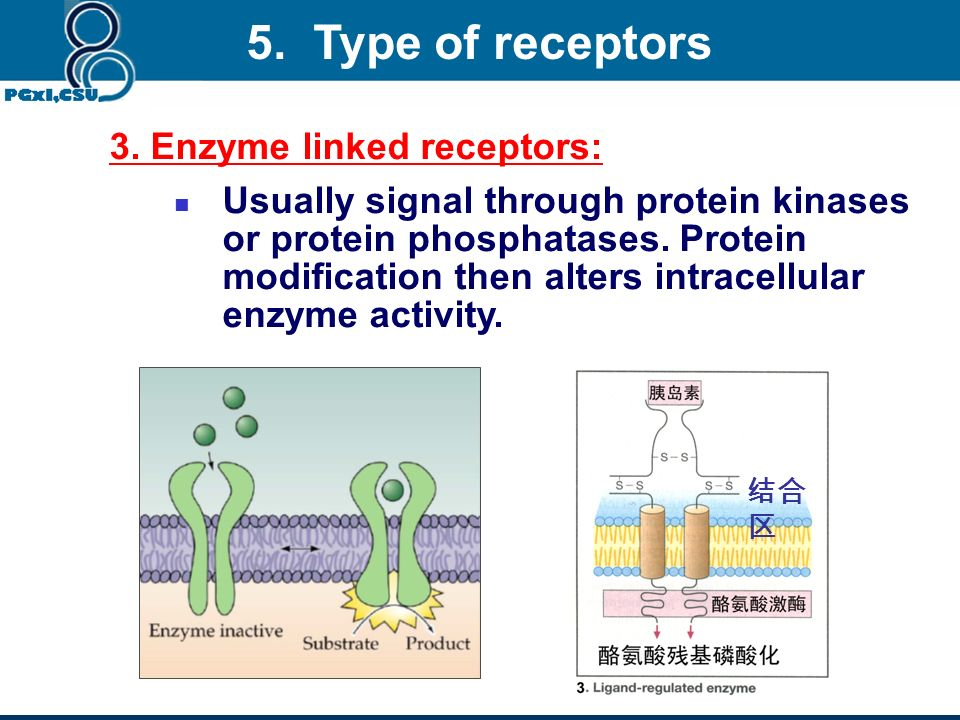 5. Type of receptors 3. Enzyme linked receptors:
