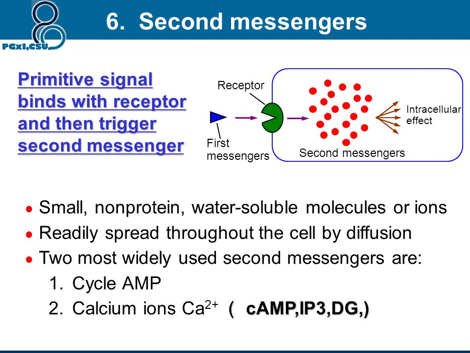 6. Second messengers Primitive signal binds with receptor and then trigger second messenger. Intracellular effect.