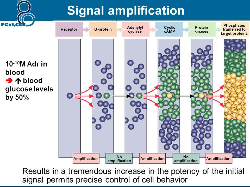 Signal amplification Amplification. No. amplification. Receptor. G-protein. Adenylyl. cyclase.