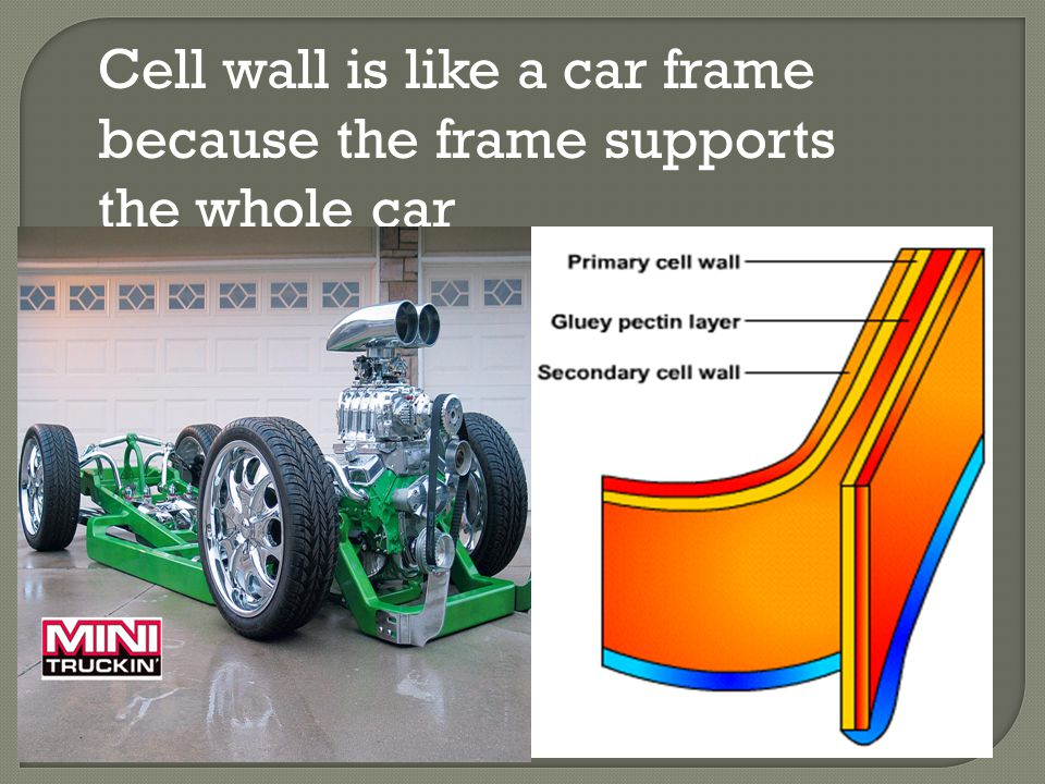 Cell wall is like a car frame because the frame supports the whole car