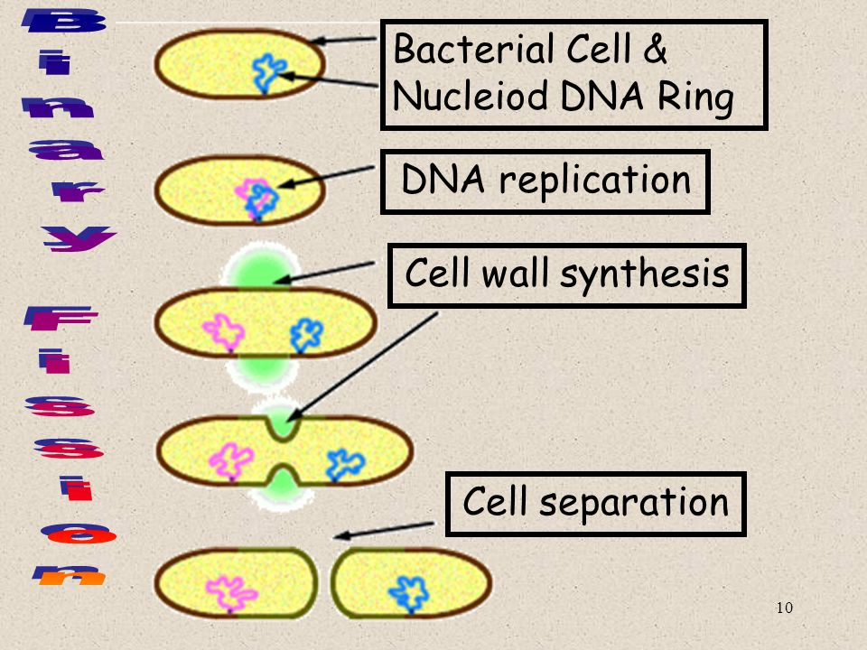 Binary Fission Bacterial Cell & Nucleiod DNA Ring DNA replication