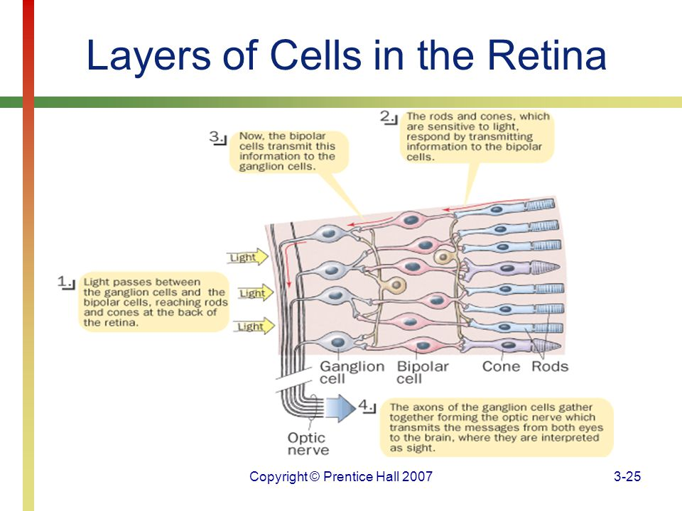 Layers of Cells in the Retina