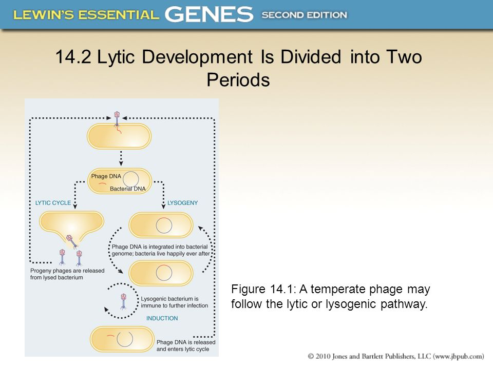 14.2 Lytic Development Is Divided into Two Periods