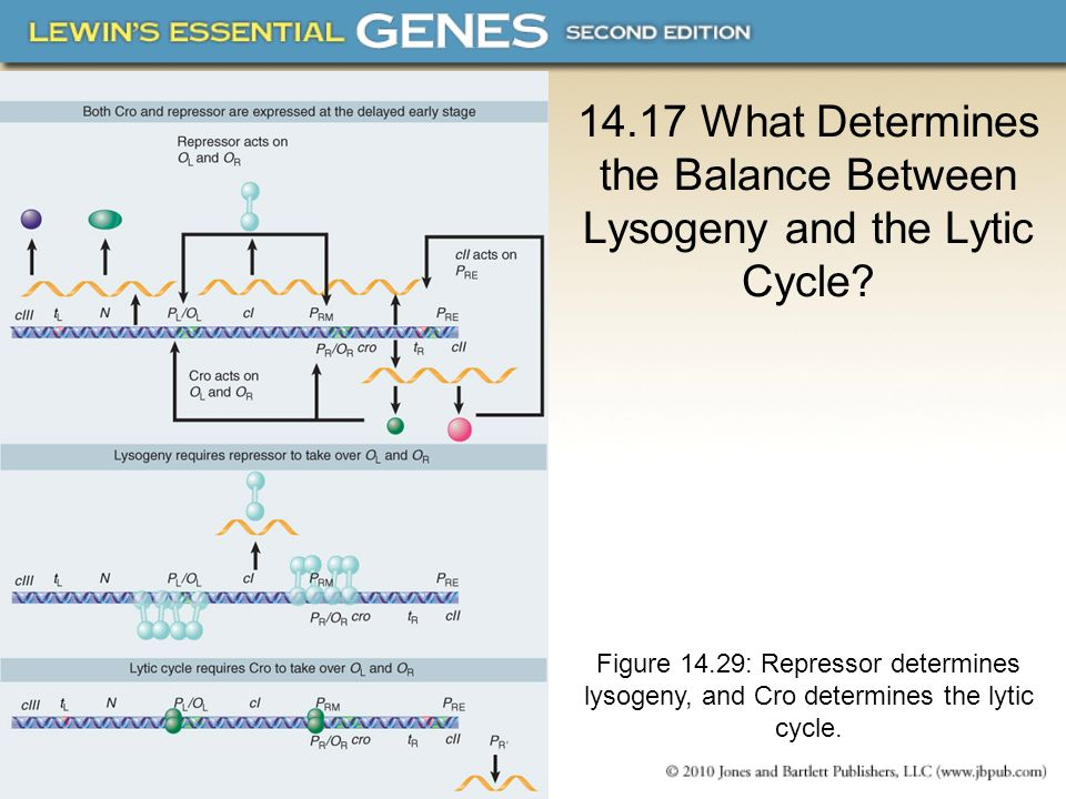 14.17 What Determines the Balance Between Lysogeny and the Lytic Cycle