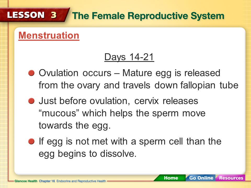 Menstruation Days 14-21. Ovulation occurs – Mature egg is released from the ovary and travels down fallopian tube.