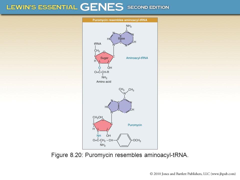 Figure 8.20: Puromycin resembles aminoacyl-tRNA.