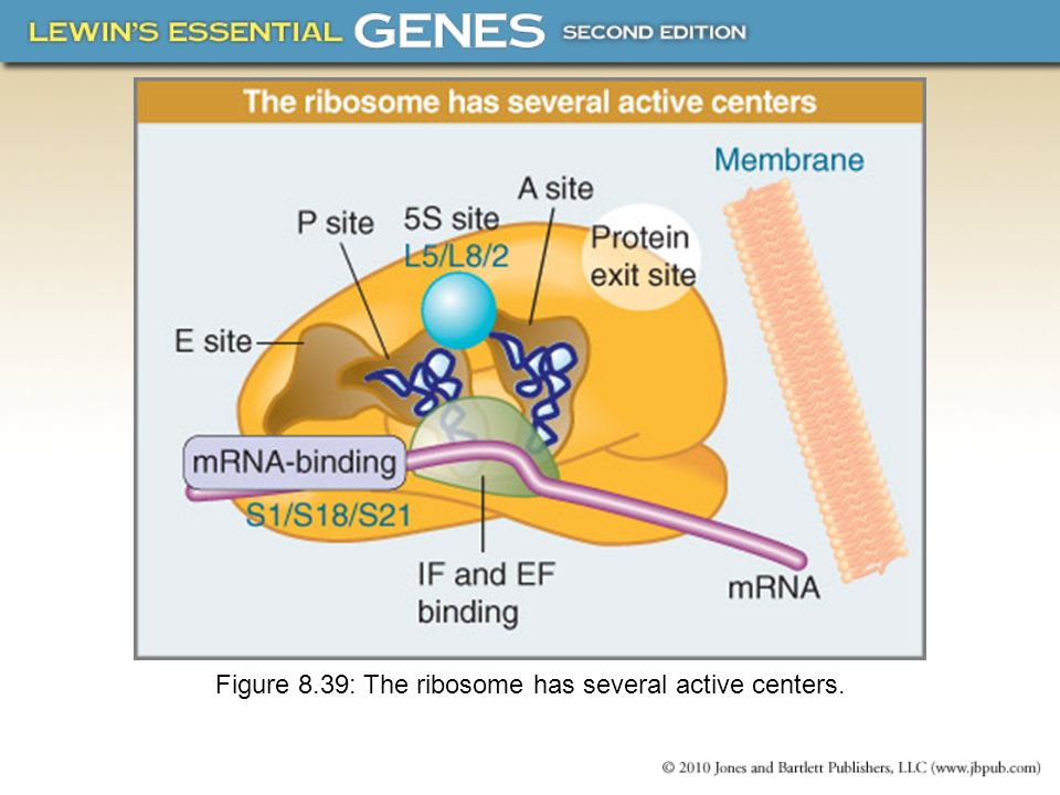Figure 8.39: The ribosome has several active centers.