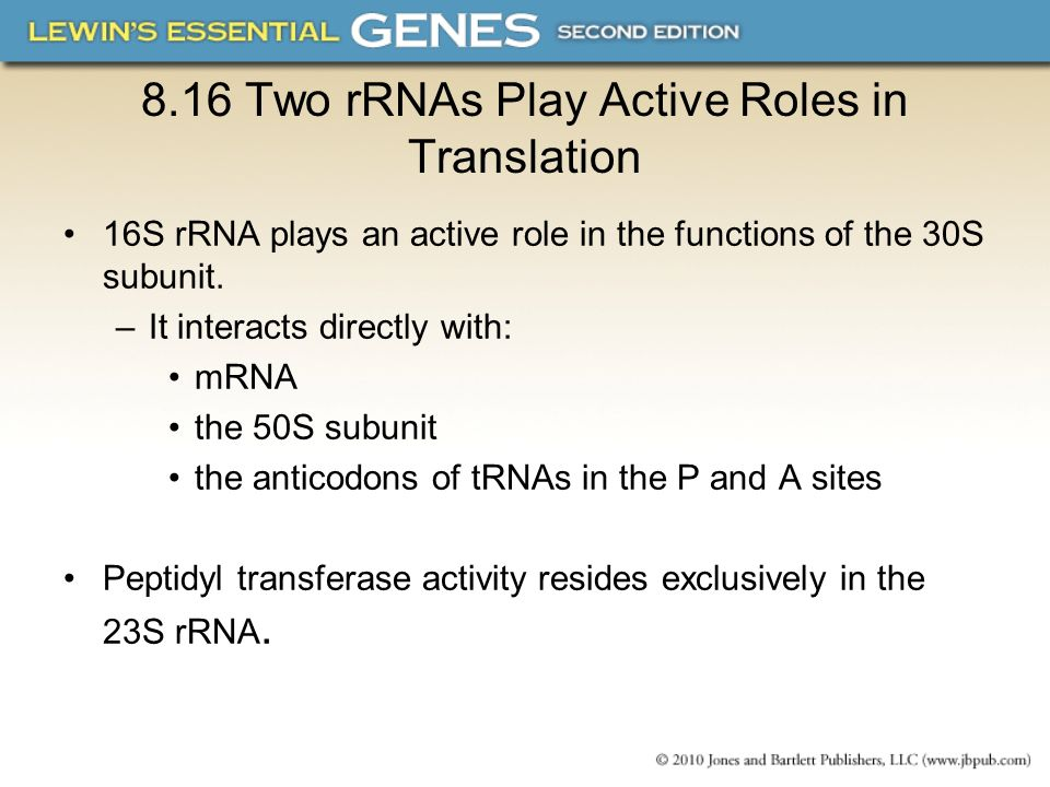 8.16 Two rRNAs Play Active Roles in Translation