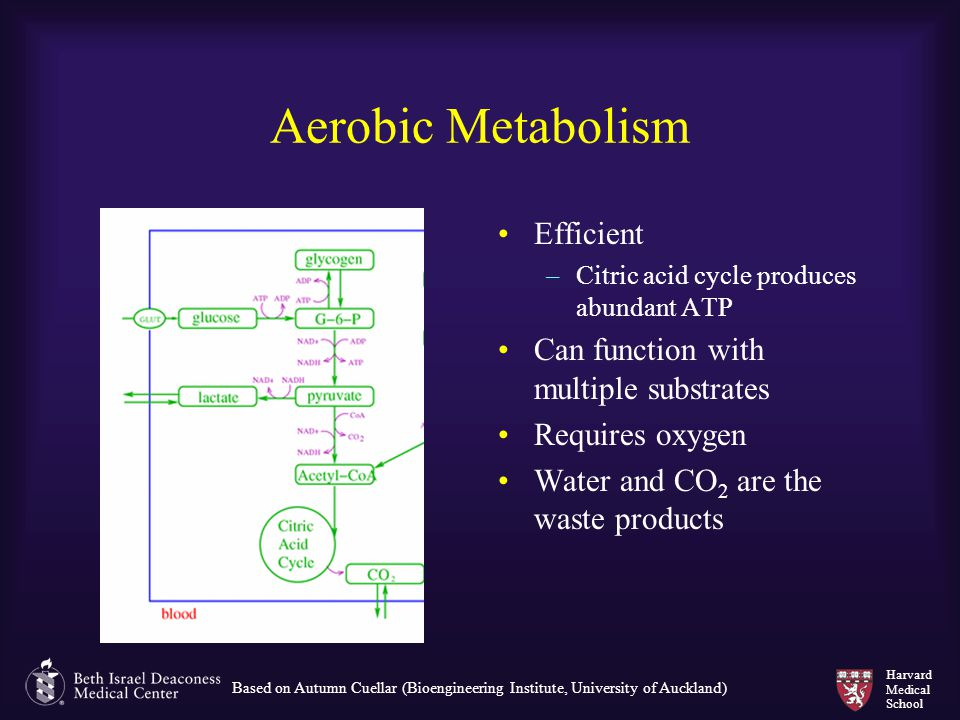 Aerobic Metabolism Efficient Can function with multiple substrates
