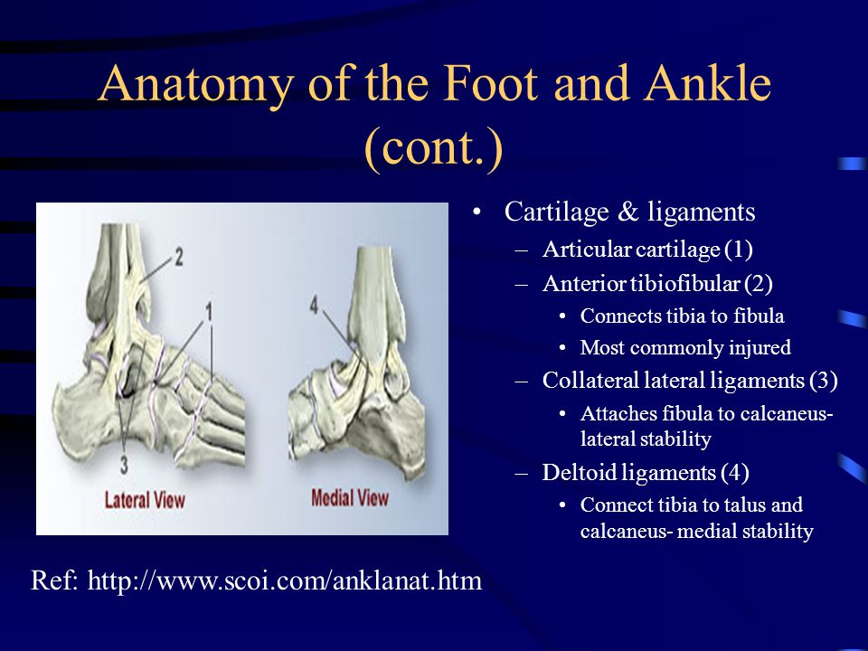 Anatomy of the Foot and Ankle (cont.)