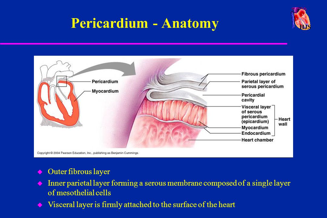 Pericardium - Anatomy Outer fibrous layer