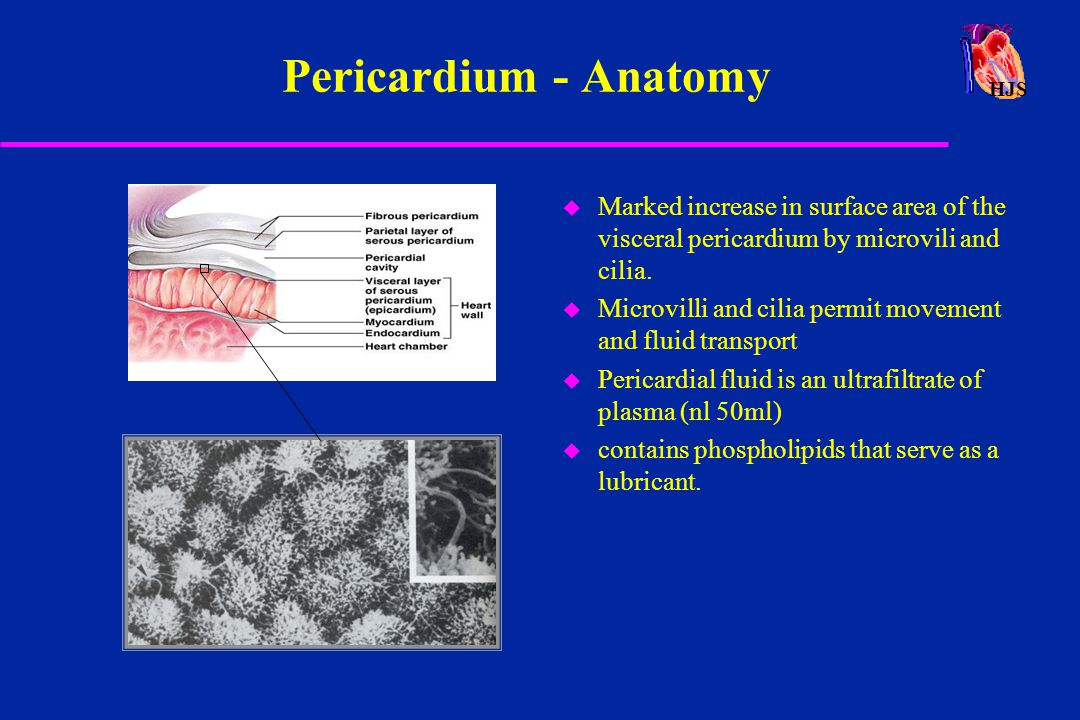 Pericardium - Anatomy HJS. Marked increase in surface area of the visceral pericardium by microvili and cilia.