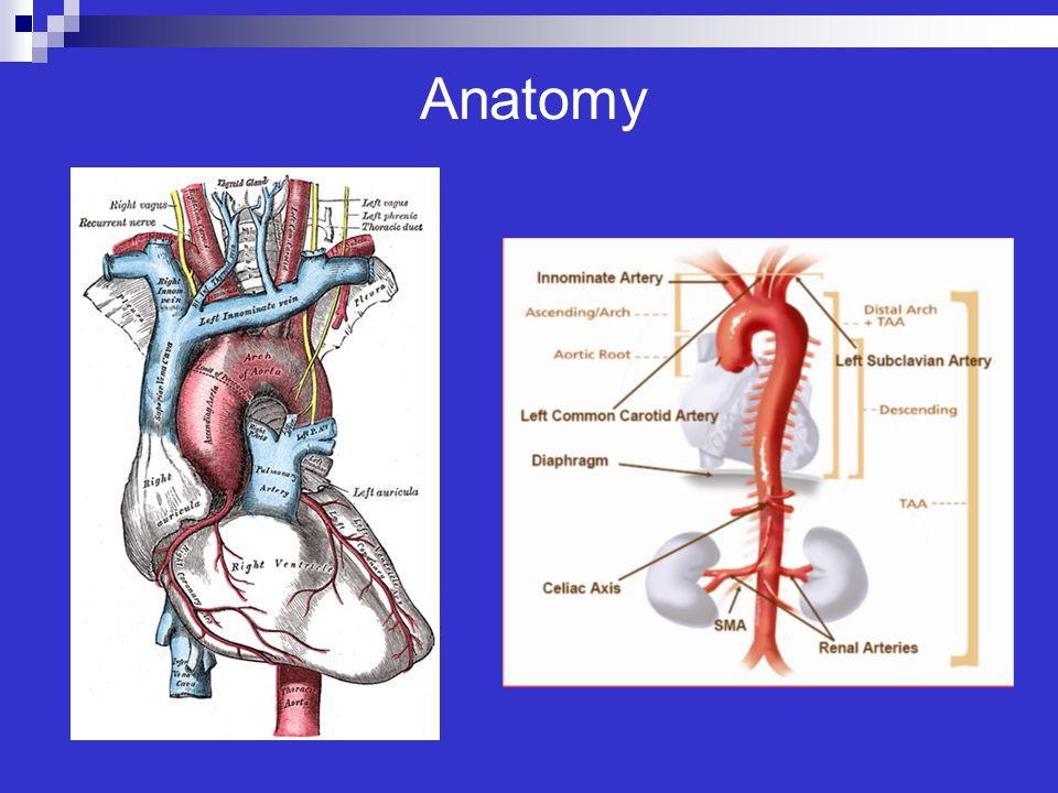 Anatomy Tunica intima, media and adventitia