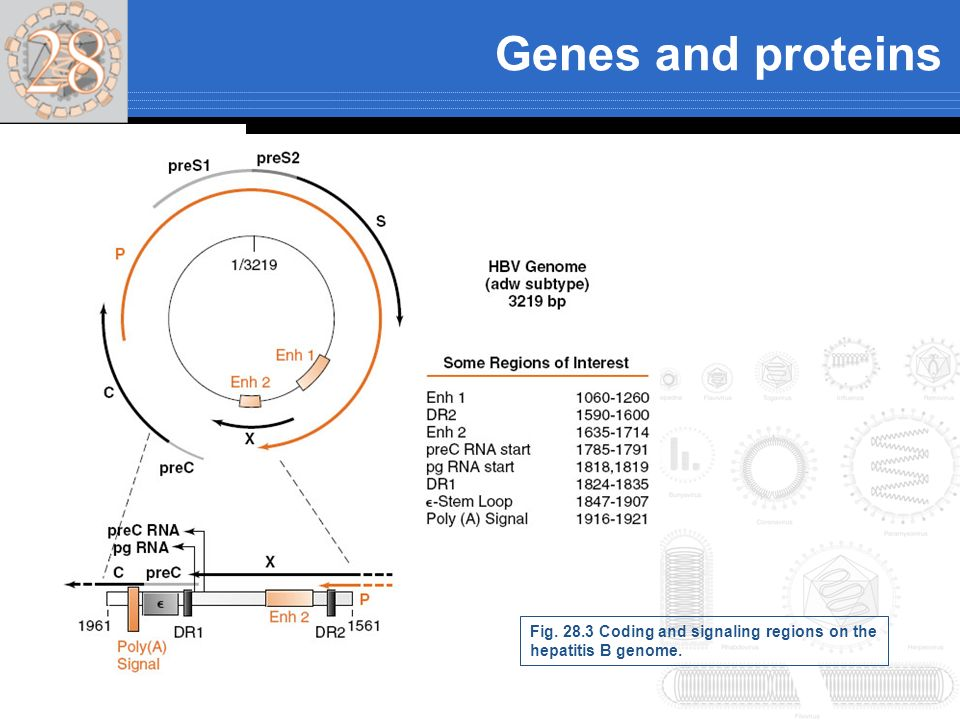 Genes and proteins Fig. 28.3 Coding and signaling regions on the hepatitis B genome.