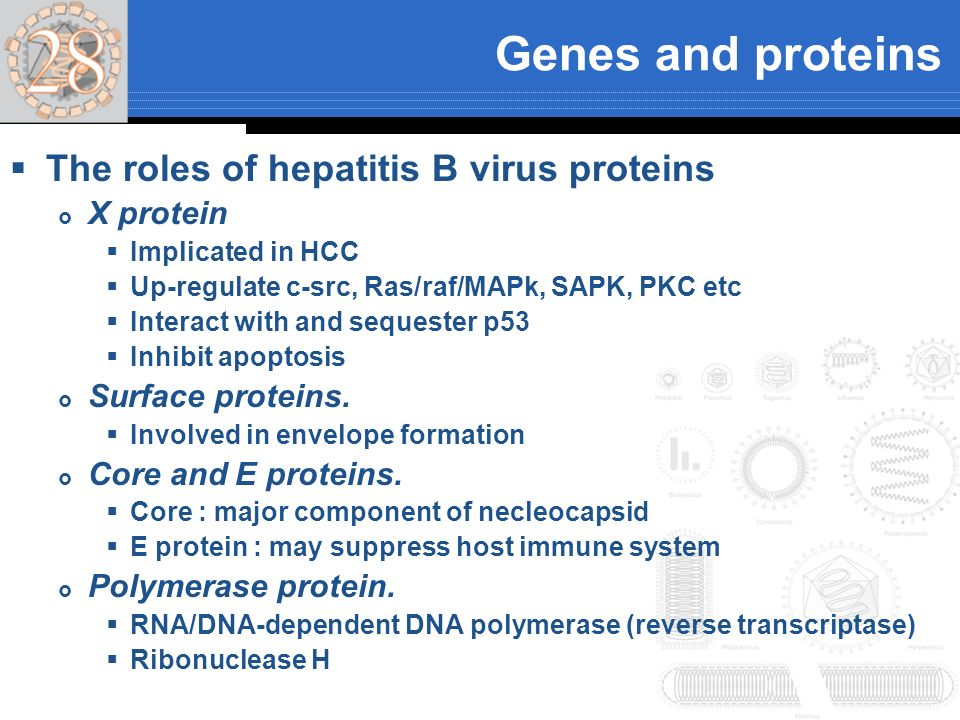 Genes and proteins The roles of hepatitis B virus proteins X protein