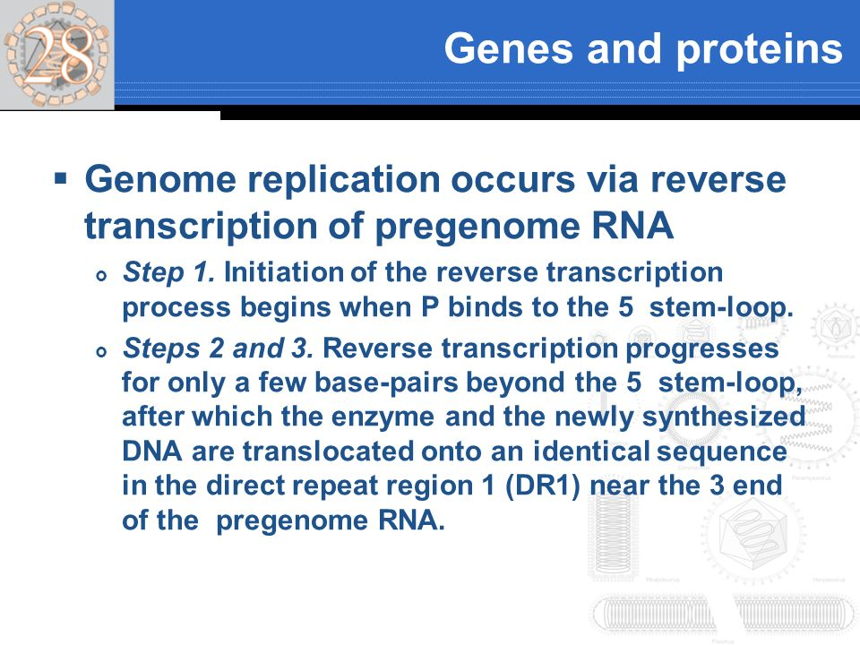 Genes and proteins Genome replication occurs via reverse transcription of pregenome RNA.
