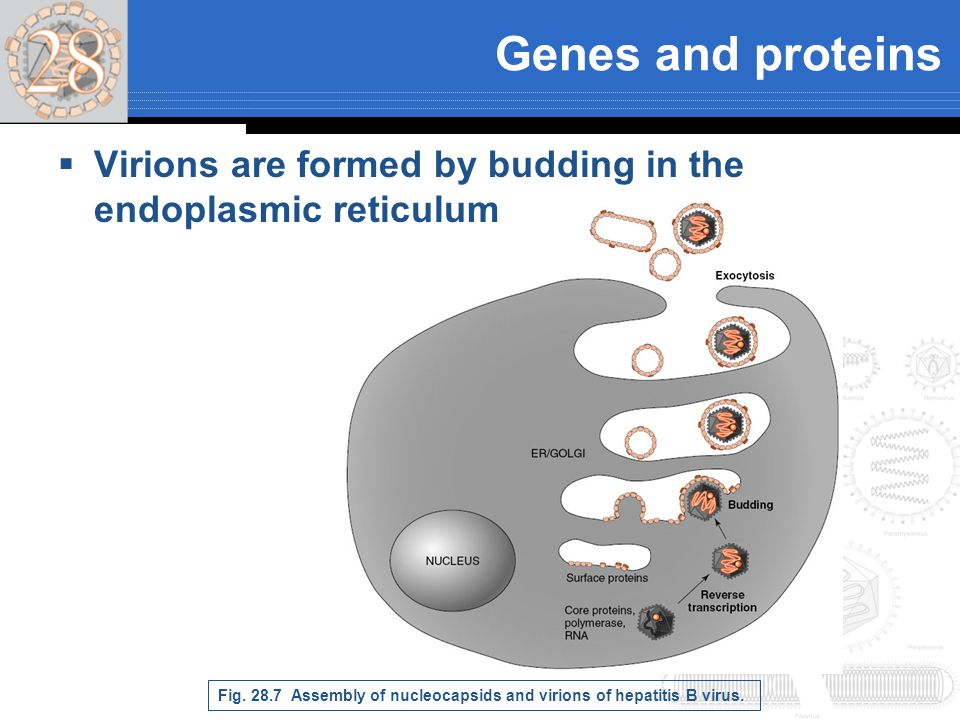 Genes and proteins Virions are formed by budding in the endoplasmic reticulum.