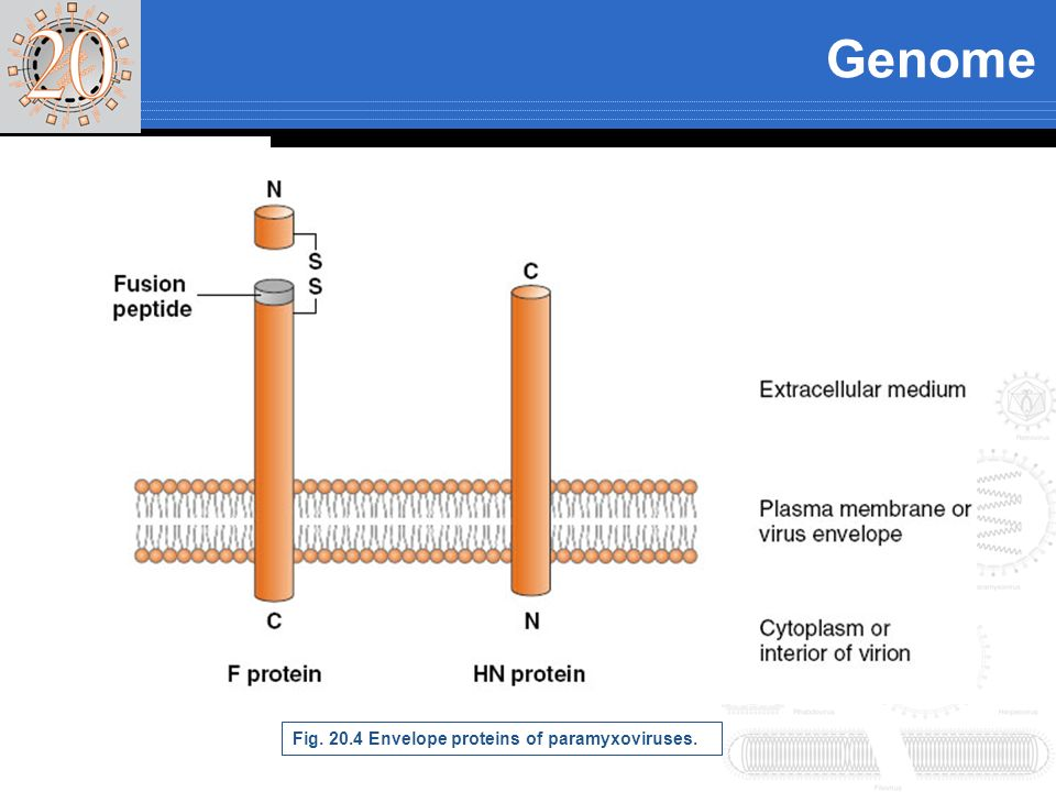 Genome Fig Envelope proteins of paramyxoviruses.