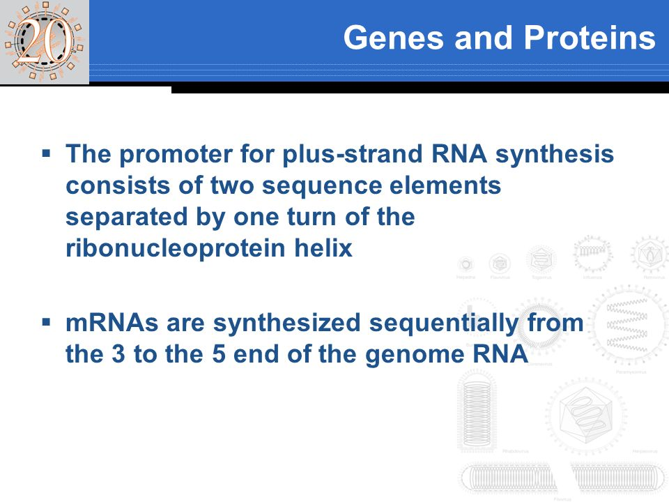 Genes and Proteins The promoter for plus-strand RNA synthesis consists of two sequence elements separated by one turn of the ribonucleoprotein helix.