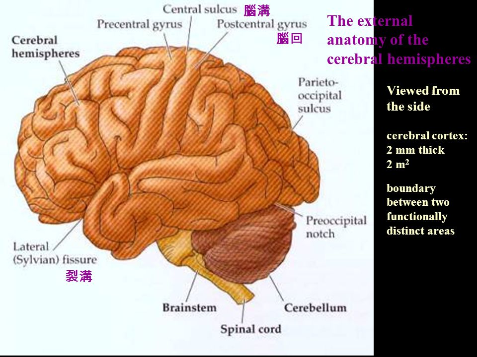 The external anatomy of the cerebral hemispheres