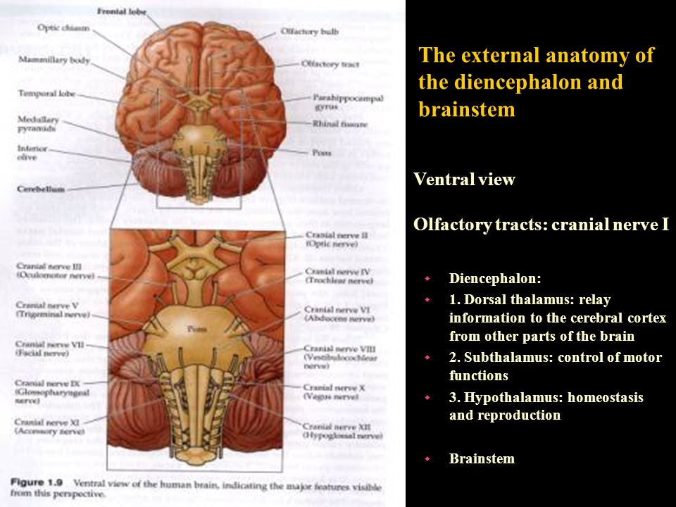 The external anatomy of the diencephalon and brainstem