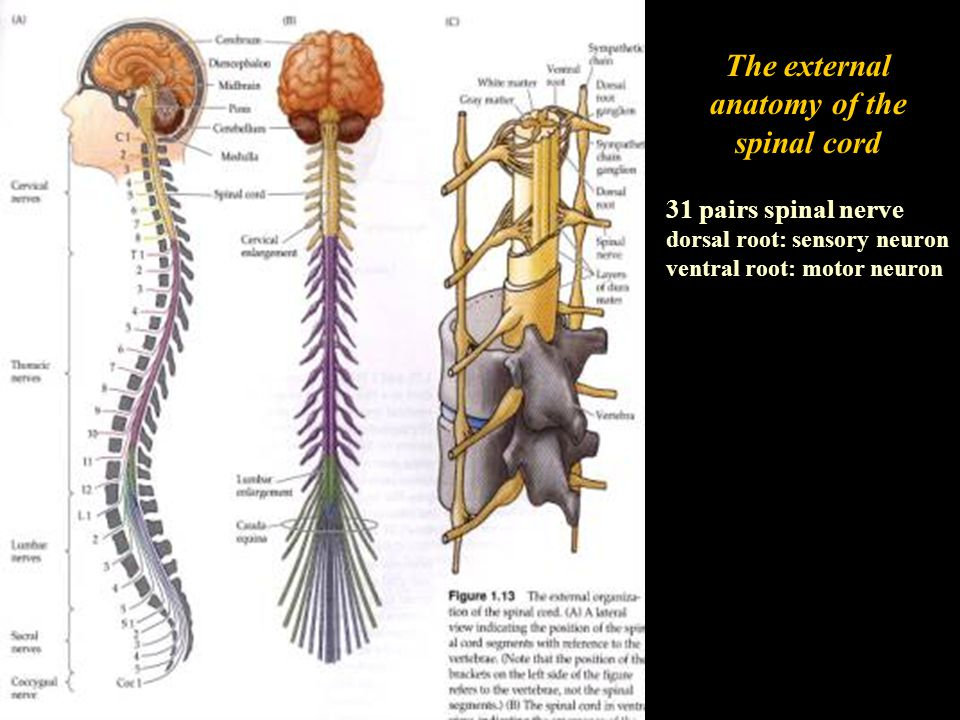 The external anatomy of the spinal cord